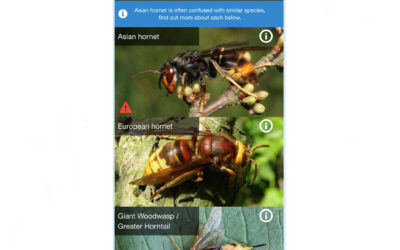 Asian Hornet Watch app unleashed to counter threat from invasive species
