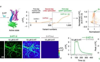 A genetically encoded sensor to measure serotonin dynamics in vivo