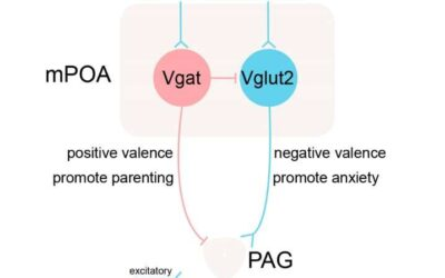Study finds that mPOA neurons mediate stress-induced anxiety and parental behavior in mice